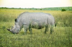 Rhino-2 copy
