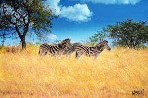 Zebra copy copy